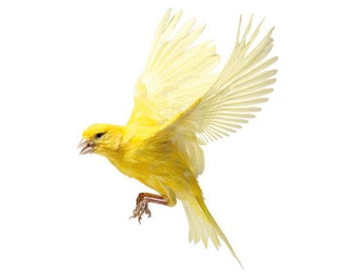 Canary1_f1